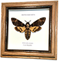 Wildwood Insects framed Deaths Head Moth