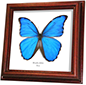 Wildwood Insects framed Giant Blue Morpho - Morpho didius