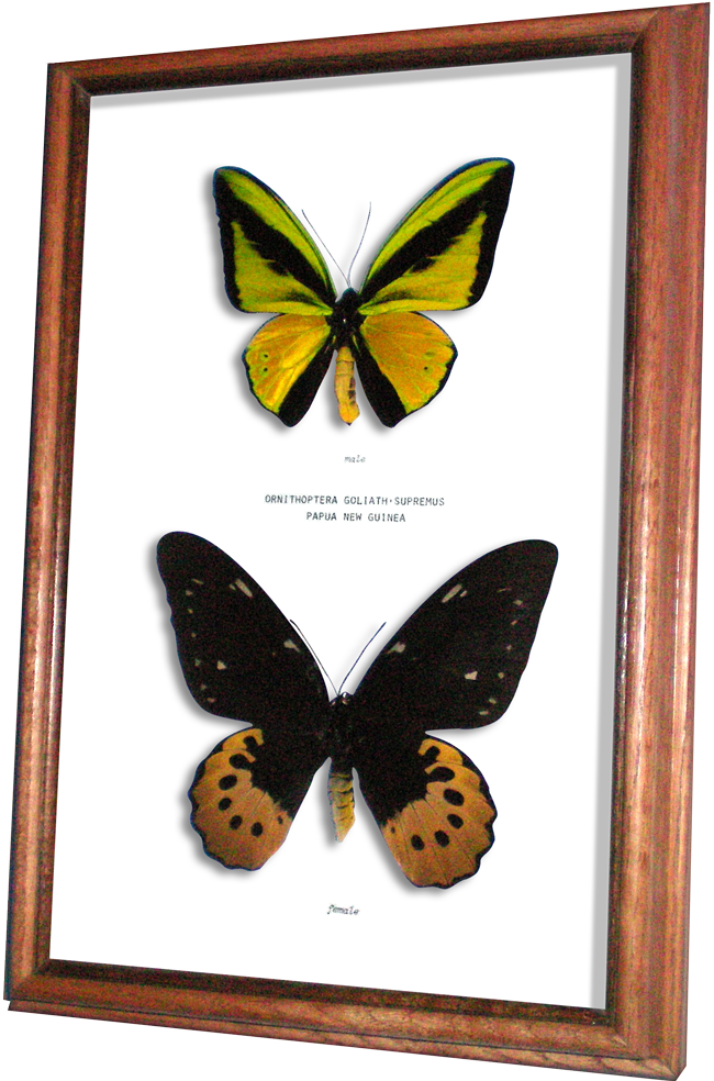 Birdwing Butterflies Available from Wildwood Insects