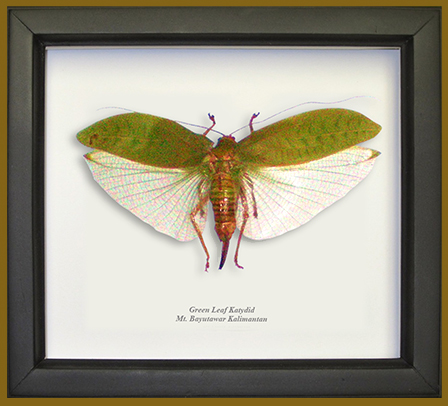 Wildwood Insects framed Green Leaf Katydid in black frame.