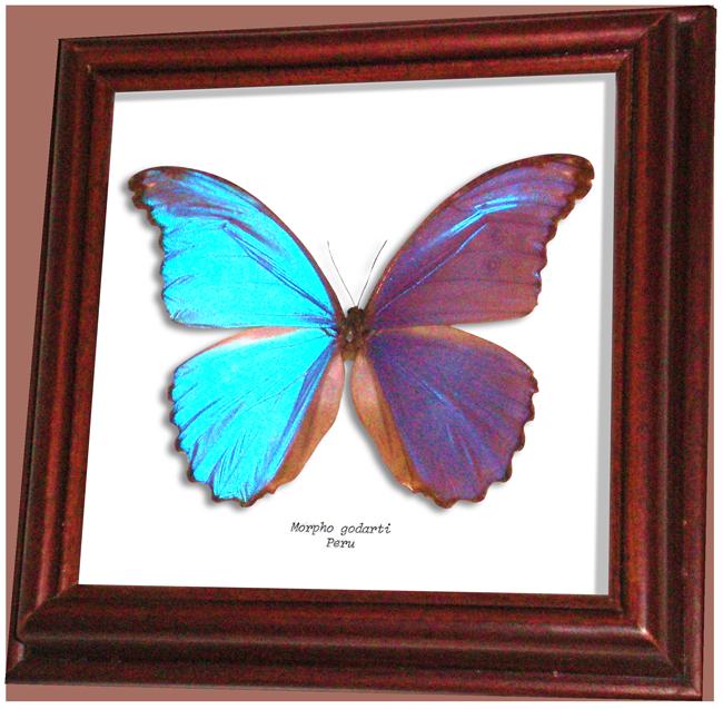 Wildwood Insects Framed Morpho Butterfly   Morpho Godarti