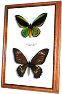 Wildwood Insects framed Priam's Birdwing Butterfly - Ornithoptera priamus