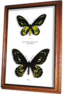 Wildwood Insects framed Paradise Birdwing Butterfly - Ornithoptera paradisea