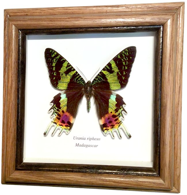 Butterflies and Moths Available from Wildwood Insects