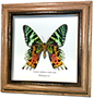 Wildwood Insects framed Urania ripheus